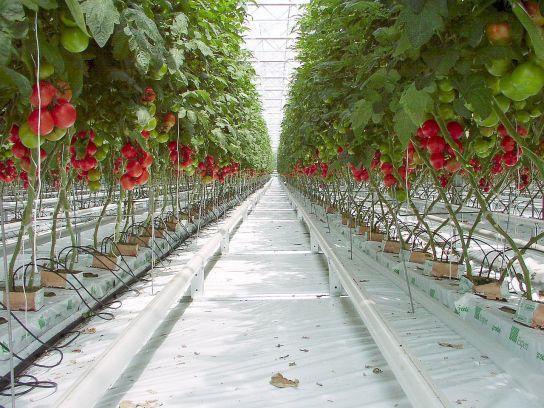 1280px-Tomato_P5260299b