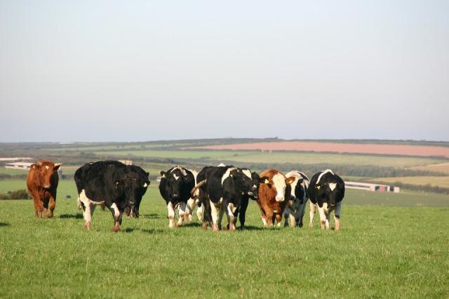 cow-1469678_960_720