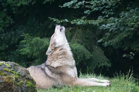 Free Images : zoo, fauna, howl, marsupial, wildlife photography,  carnivores, european wolf, pack animal, canis lupus, wolf howling, dog like  mammal, wolfdog 6000x4000 - - 581606 - Free stock photos - PxHere